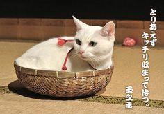 Twitter / nekozamuraiinfo: 上映劇場についてたくさんのお問い合わせをいただいておりかたじけない。先日の発表は第一弾、まだまだ拡大予定でございますゆえ今しばらくごゆるりとお待ちくださいませ。 #猫侍 Kawaii Cat, Adorable Animals, Cute Cats, Neko, Cats And Kittens, Cats, White Cats, Beautiful Cats, Beautiful Cats