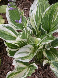 Hosta 'Wicked Good'
