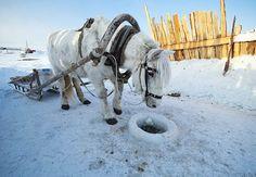 Якутская лошадь. Якутск, Якутия. Фото: Айар Варламов.  Yakutian horse. Yakutsk, Yakutia, Siberia, Russia. Photo: Ajar Varlamov.