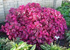 Coração-magoado (Iresine herbstii) Arbusto ou forração