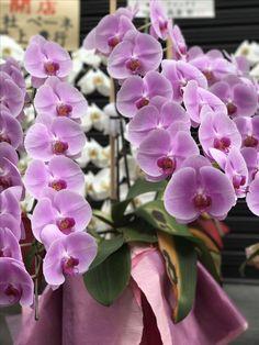 Orchids, Japan