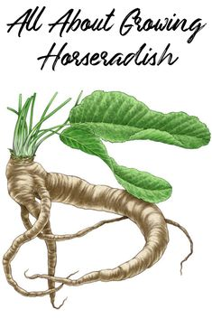 Growing horseradish is possible in a wide range of climates because they are such tough, persistent plants. Horseradish roots are harvested from fall through winter, providing plenty of warmth to winter meals. This guide includes descriptions of the types of horseradish and tips for growing this flavor-packed root crop in your organic garden. Horseradish Plant, Growing Horseradish, Horseradish Ideas, Garden Types, Winter Meals, Winter Food, Mother Earth News, Hardy Perennials, Organic Gardening Tips