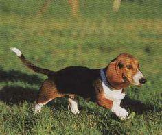 Basset artesien normand photo | Basset Artésien Normand: Dogs, Animals, Normandy, Animaux, Doggies, Animal, Animales, Pet Dogs, Dog