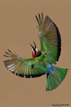 """Wings"" - Beautiful Bee eater"