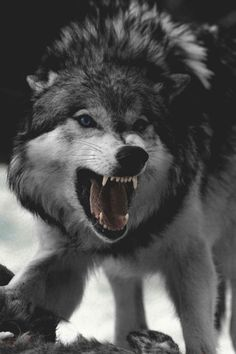 🐺If you Love Wolves, You Must Check The Link In Our Bio 🔥 Exclusive Wolf Related Products on Sale for a Limited Time Only! Tag a Wolf Lover! 📷: Please DM . No copyright infringement intended. All credit to the creators. Nature Animals, Animals And Pets, Cute Animals, Angry Animals, Wild Animals, Baby Animals, Wolf Love, Wolf Spirit, My Spirit Animal