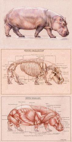 Hippo skeleton anatomy and muscle anatomy… Anatomy Study, Anatomy Art, Anatomy Drawing, Anatomy Reference, Art Reference, Anatomy Organs, Heart Anatomy, Human Anatomy, Animal Skeletons