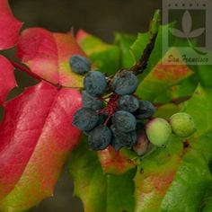 Mahonia aquifolium - Shade shrub with holly-like leathery leaves in various colors; yellow flowers in spring; crimson/bronze leaves and purple grape-like medicinal fruit in fall.