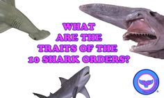 What are the traits of the 10 shark orders? - The Super Fins Marine Life, Shark, Fun Facts, Sharks, Funny Facts