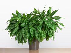 Best Plants For Bedroom, Bedroom Plants, Plante Pothos, Plante Jasmin, Chinese Evergreen Plant, Best Air Purifying Plants, Easy To Grow Houseplants, Jasmine Plant, Corn Plant