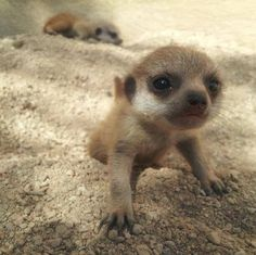 Meerkat Family Grows at Cotswold Wildlife Park http://www.zooborns.com/zooborns/2013/07/meerkat-family-grows-at-cotswold-wildlife-park.html