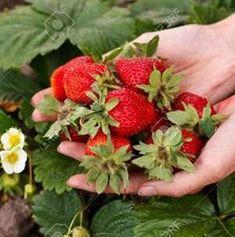 Így gondozd az epret, hogy mindig sok és zamatos gyümölcsöd legyen