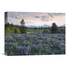 Global Gallery Lupine Meadow Grand Teton National Park Wyoming Wall Art - GCS-452244-3040-142