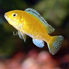 Electric yellow cichlid (also Lab cichlid)