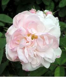 Rosa x chinensis Mousseline