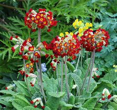 """Primula veris 'Sunset Shades'  3-4""""clusters of fragrant, scarlet to red-orange blooms bob merrily atop multiple, upright, 8-10"""" stems from February to June. Attractive low rosettes of rich green leaves spread over time to fill in sad little bare spots, especially as they are happy even in clayish soils (but better with some compost added!). Try it with blue perennial """"Forget-Me-Nots"""" & yellow Aquilegia chrysantha."""