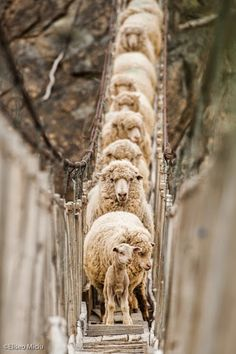Sheep on a rope bridge, probably very high in the mountains.  The little lamb and the sheep behind him look rather worried!