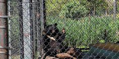 A roadside zoo in Virginia has bears out in the sweltering heat with empty water troughs and no way to cool down! (27662 signatures on petition)