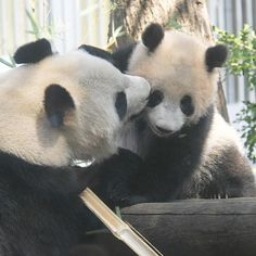 Just one more spot! Panda Day, Panda Love, Cute Panda, Red Panda, Animal Pictures, Cool Pictures, Mom And Baby, Beautiful Creatures, Animals And Pets