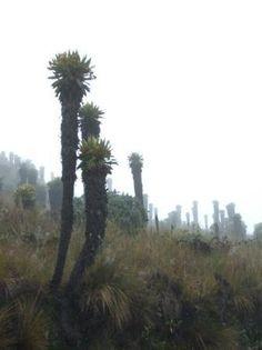 frailejones colombia