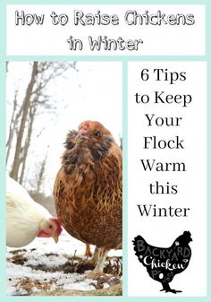 We're often asked how to go about keeping chickens warm in winter, when the temps drop and the snow starts to fly. Truly, it's easy with these tips! Laying Chickens, Raising Backyard Chickens, Urban Chickens, Backyard Poultry, Keeping Chickens, Pet Chickens, Chickens In The Winter, Chicken Incubator, Chicken Eggs