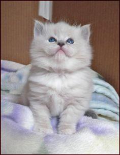 Ragdoll Kitten  =^•.•^=
