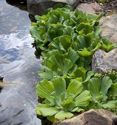 Water Lettuce - Aquascape