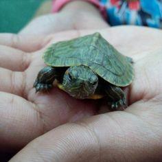 Super Cute Animals, Adorable Animals, Red Eared Slider, Cute Turtles, Turtle Love, Tortoises, Animal Memes, Sliders, Biology