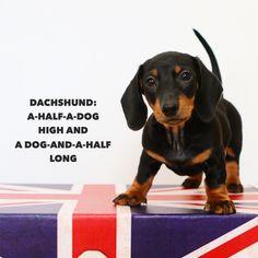 Gigsy - dachshund, Doxie, wiener dog