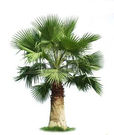 16686346-green-fan-palm-tree-isolated-on-white-background.jpg (380×450)