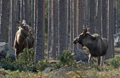 norwegian moose from Finnskogen.