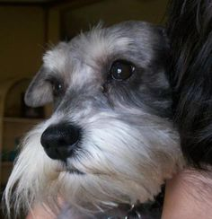 Ranked as one of the most popular dog breeds in the world, the Miniature Schnauzer is a cute little square faced furry coat. Miniature Schnauzer Black, Miniature Schnauzer Puppies, Schnauzer Puppy, Schnauzers, I Love Dogs, Puppy Love, Cute Puppies, Dogs And Puppies, Schnauzer Grooming