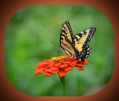 Butterfly On Zinnia Art Print For Sale