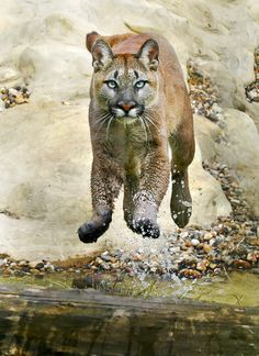 This is a female Puma leaping effortlessly over her pond. The fourth largest cat behind the Tiger, Lion and Jaguar, the Puma or Cougar, is an amazing animal. A terrific hunter, cougar is a design in strength and speed.
