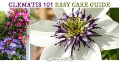 This 1-2-3 guide shows you how to know which clematis type you have and if or when it will need pruning. No need to be overwhelmed! These beautiful vines are delightful in the garden.