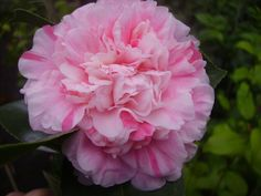 Camellia japonica 'Albertii' AKA 'Prince Albert' AKA 'Concordia' (Imported to U.K. from China in the 1830's)