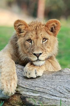 *Lion Cub (by Darrell Ybarrondo)