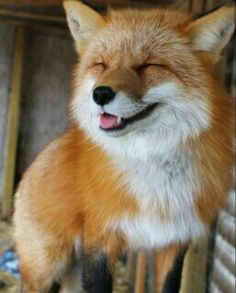 Everything Fox - everythingfox: ✌Discover recipes, home ideas, style inspiration and other ideas to try.A collection of adorable foxes.Vincent The Red Fox by vincent.New post on bio-diversity Cute Baby Animals, Animals And Pets, Funny Animals, Wild Animals, Fuchs Baby, Fantastic Fox, Fox Pictures, Pet Fox, Fox Baby