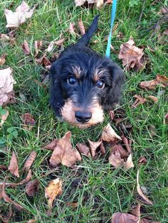 New Photos dogs and puppies labradoodle Style Conduct you're keen on your pet dog? Correct pet dog health care and also train Dachshund Quotes, Dachshund Love, Daschund, Funny Animal Pictures, Dog Pictures, Cool Pets, Cute Dogs, Animals And Pets, Cute Animals