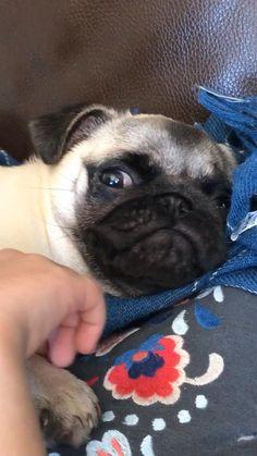 Pug Videos, Funny Animal Videos, Funny Animals, Cute Animals, Cute Baby Pugs, Cute Pug Puppies, Funny Pug Pictures, Cute Animal Pictures, Pug Gifs
