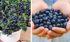 Vous pourrez cesser d'acheter des bleuets! Grâces à ces astuces de jardinage, vous les cultiverez sans fin!