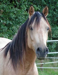 Quarab horse... The spirit and fire of the arab with the steadiness and loyalty of the quarter horse.  Love this breed!!