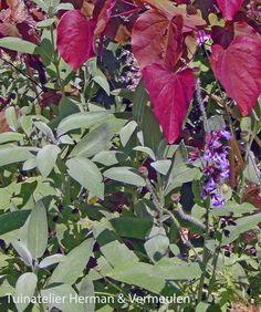 Echte salie of Salvia officinalis is een makkelijke, goedkope, goed verkrijgbare tuinplant met een rijkdom aan verhalen en rituelen. Lees meer op onze blog: http://tuinatelierhermanvermeulen.blogspot.nl/2015/01/salvia-officinalis-of-echte-salie.html