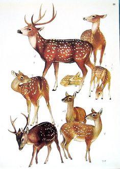 True Deer 1972 Vintage Encyclopedia Print by mysunshinevintage, $10.00