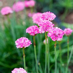 Common thrift  Armeria maritima  Native to California, Oregon, Washington, and B.C.  Tufted mounds spread to 1 ft.; leaves are 6 in. long. White to rose pink flowers in tight clusters atop 6–10-in. stalks.