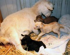 {lessons in neonatal goat care}