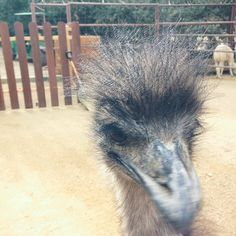 Why hello there! Emus have a second set of eyelids to help protect their eyes from dirt and dust. Rancho Las Lomas Wildlife Foundation.