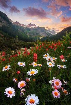 Wild Daisies, The Cascades, Washington