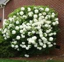 Snowball Bush | Snowball Viburnum | Chinese Snowball Viburnums & Shrubs
