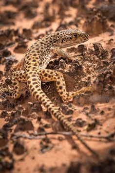 Long-Nosed Leopard Lizard, Canyonlands National Park