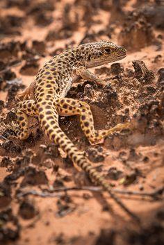 lizard, leopard